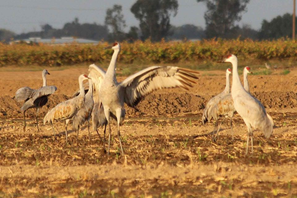 Sandhill cranes gather at the Cosumnes River Preserve south of Sacramento.