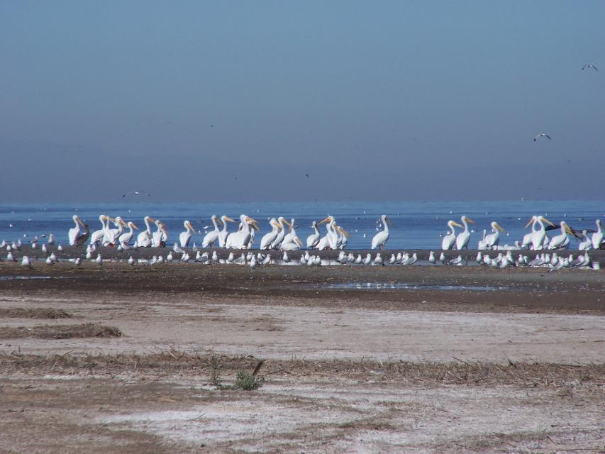 Shore birds at the Salton Sea